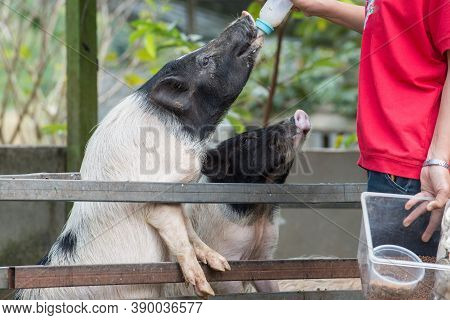 Cropped Shot View Of Farmer Feeding Milk To Group Of Young Piglet In Pig Breeding Farm.