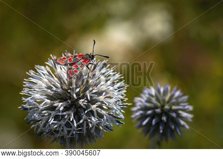 The Crepuscular Burnet, An Insect With Black Wings And Red Spots, Sitting On Pale Blue Globe Thistle