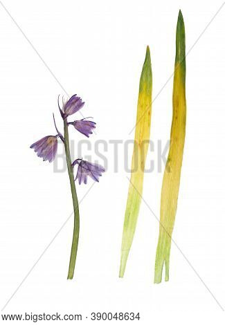 Pressed And Dried Flower Hyacinthoid Spanish (spanish Bluebell, Scilla Hispanica) Isolated On White