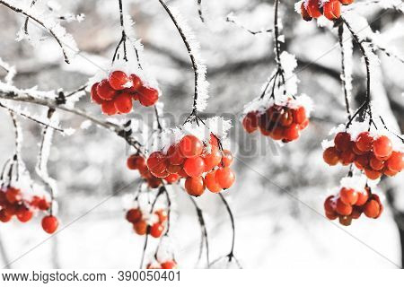 Winter Frozen Viburnum Under Snow. Viburnum In The Snow. First Snow. Beautiful Winter.