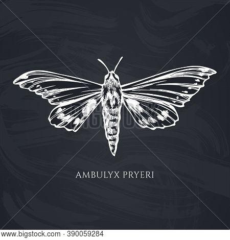 Vector Set Of Hand Drawn Chalk Ambulyx Moth Stock Illustration