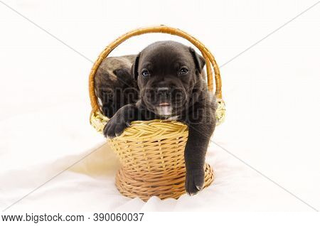 Staffordshire Terrier One-month Puppies. Young Puppy Dog Sitting In Basket. Puppy Dog Looking At Cam