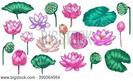 Pink Lotus. Water Lily Flowers Pink Lotus And Green Leaves, Beautiful Bloom Plant Botanical Garden,