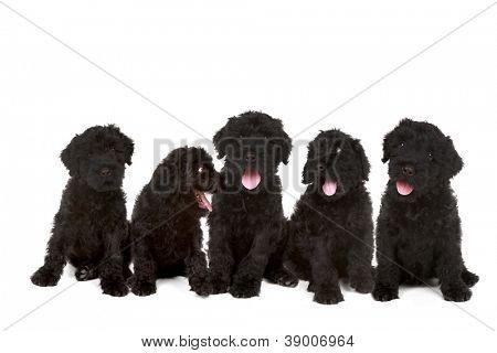 Happy Litter of Black Russian Terrier Puppies