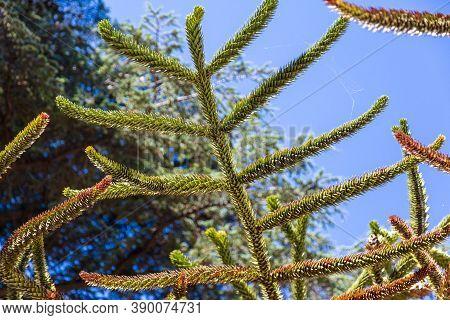 Araucaria Araucana Grows In The Park. Nature