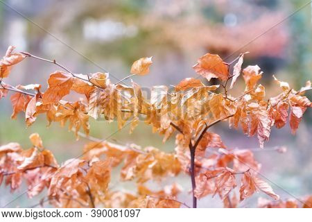 Fall Autumn Brawn Dry Leaves Background Blur. Autumn Background With Shallow Deph Of Field