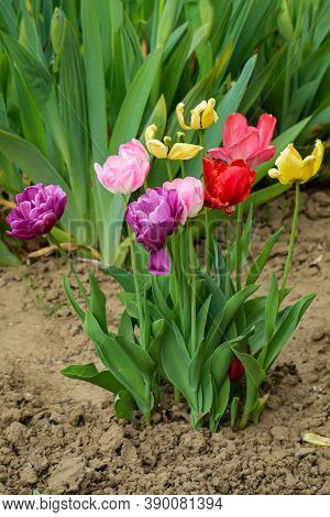 Lots Of Colorful Tulips In The Garden In Spring.