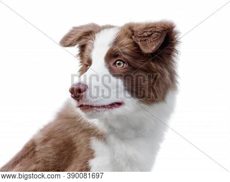 Portrait Of Adorable Border Collie Puppy Sitting On The Ground. Four Months Old Cute Fluffy Puppy In