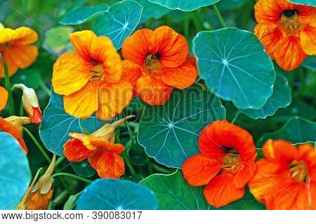 Garden Nasturtium Or Indian Cress Flowers In Cottage Garden (tropaeolum Majus)