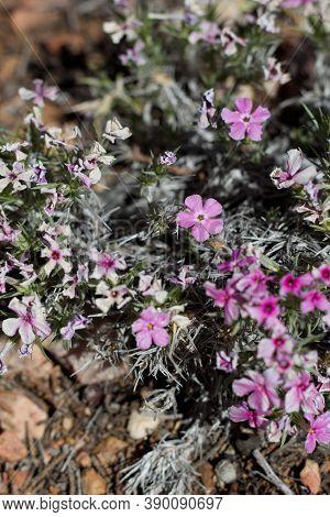 Pink Solitary Terminal Inflorescences Of Mountain Flame, Phlox Austromontana, Polemoniaceae, Native