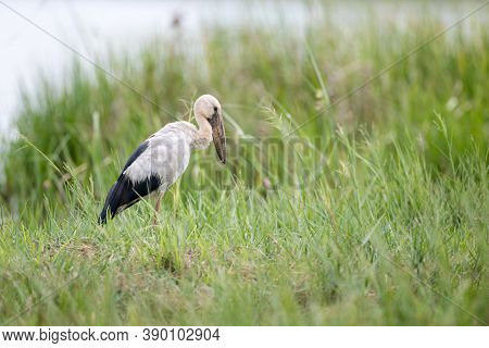 Closeup Asian Openbill Or Asian Openbill Stork, Low Angle View, Side Shot, In The Morning Walking An