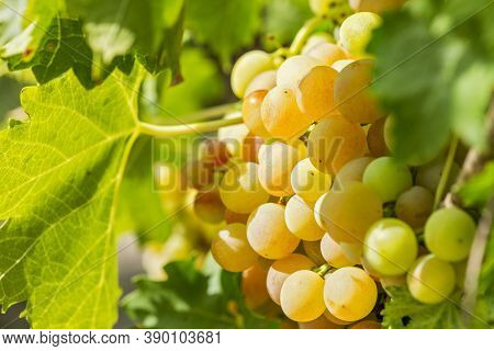 Sweet And Tasty White Grape Bunch On The Vine. White Ripe Grape Clusters.
