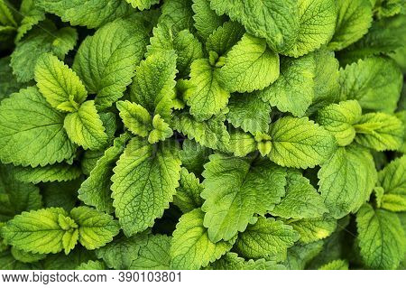 Mint Leaves Background. Green Mint Leaves Pattern Layout Design. Ecology Natural Creative Concept. T