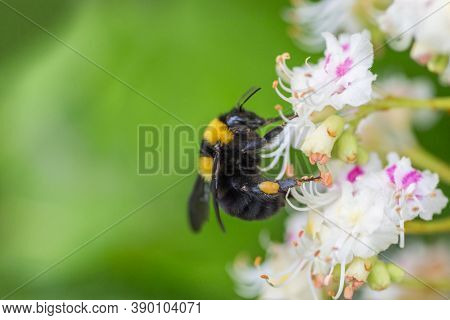 Insects Collect Nectar On Flowers Close-up. Bumblebees On Honey Plants In Summer