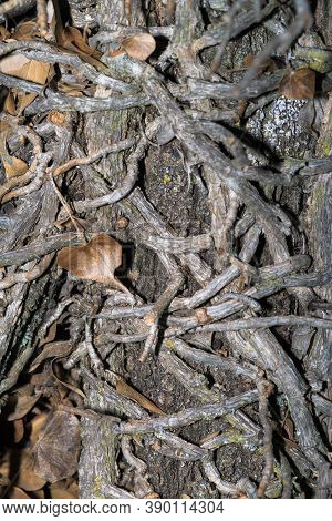 Background, Texture Of Trees With Roots Around The Trunk In The Form Of A Vine.