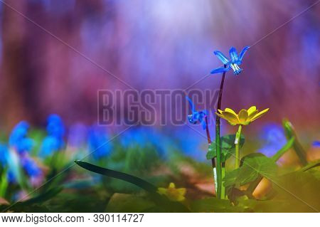 Beautiful Nature Scene With Spring Flowers. Blue Spring Flower Of The Siberian Mower, Siberian Goose
