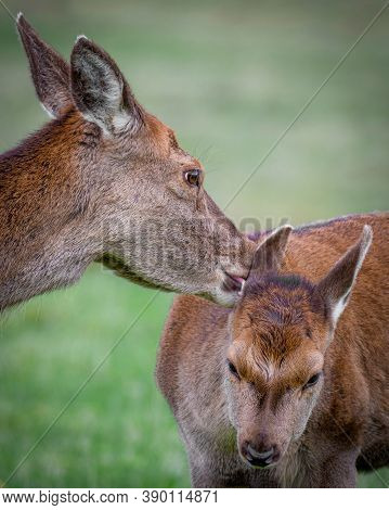 A Close Up Of A Red Deer Doe And Fawn. The Mother Is Licking Behind The Fawns Ears. Cute Photograph
