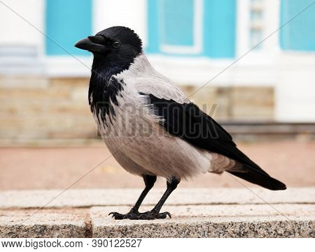Young Hooded Crow (corvus Cornix) Also Called Hoodie Against Urban Environment Background With Space