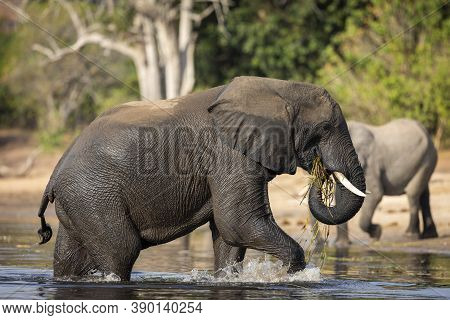 Elephant Walking Out Of Water Eating Grass In Afternoon Sunlight In Chobe River In Botswana