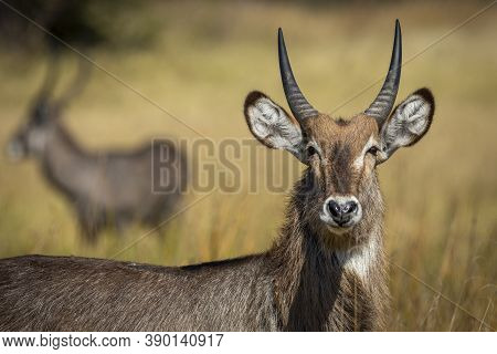 Portrait Of A Young Water Buck Looking At Camera Looking Alert With A Male Water Buck In The Backgro