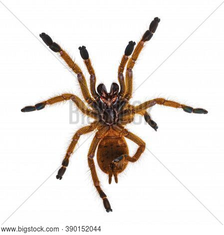 Bottom View Of Young Orange Baboon Tatantula Spider Aka Pterinochilus Murinus Rcf. Isolated On White