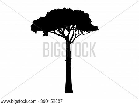 Maritime Pine Tree, Pinus Pinaster Mediterranean Plant, Vector Isolated On White Background