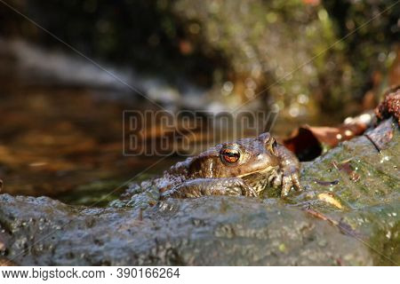 The Common Toad, European Toad Or In Anglophone Parts Of Europe, Simply The Toad (bufo Bufo) Sitting