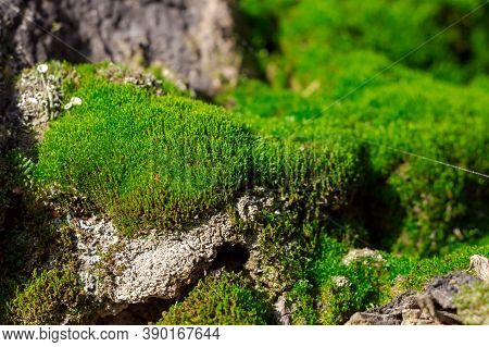 Moss, Photographed Close-up, In The Forest In Natural Light