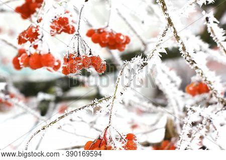 Winter Frozen Viburnum Under Snow. Viburnum In The Snow. First Snow. Autumn And Snow. Beautiful Wint