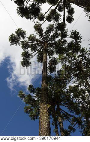 Araucaria Trees At Campos Do Jordão, Brazil.