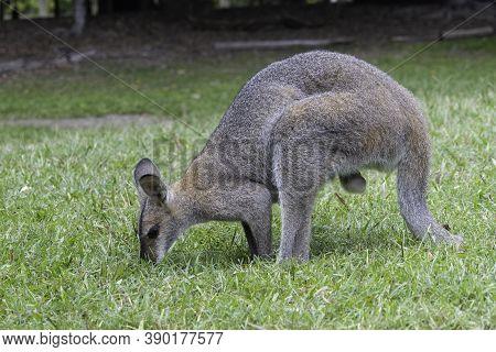 Brisbane, Australia - March 23rd, 2020: A Male Kangaroo Eating In A Wildlife Park Near Brisbane, Aus
