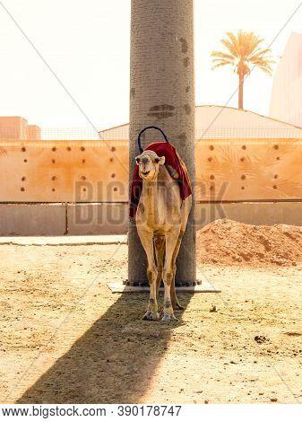 Camel Hiding In The Shadow Of A Concrete Pillar Waiting For Tourists, Marrakech, Morocco. Dromedary