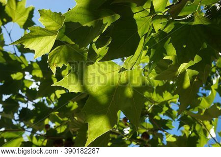 Bucharest, Romania - September 01, 2020: Plane Trees Leaf On A Sunny Day In A Park In Bucharest.