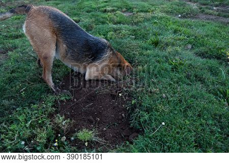 A Large Dog Sticks Her Head In A Gofer Hole That She Is Digging Outing Search Of The Rodent In A Gre