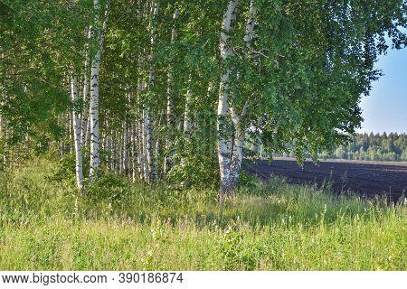 Birch Grove, Many Birch Trees