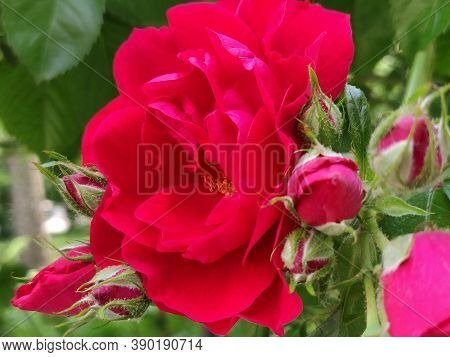 Photo Of A Blooming Red Rose In A Garden