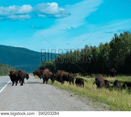 Part Of The Liard River Wild Buffalo Herd Along The Alcan Hwy In British Columbia  Canada