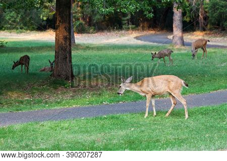 Mother Deer And Their Babies Snack On Grass In The Late Afternoon At Joseph Stewart State Park, Oreg