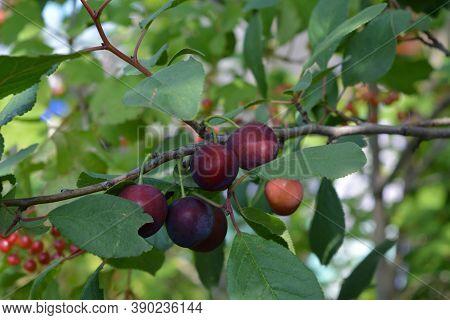 Ripen Plums On The Branch In Summer Garden. Prunus Domestica