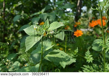 Nightshade In The Garden. Summer View With Green Plants.