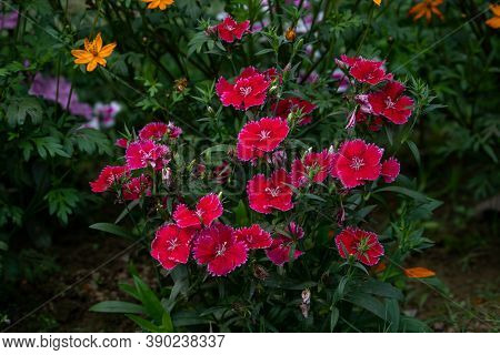 Red Dianthus Chinensis Or China Pink Flowers In Garden