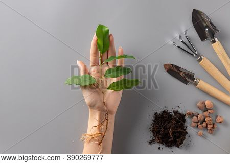 Young Green Plant In Female Hand And Set Of Gardening Tools On Gray Background. Plant Care. New Life