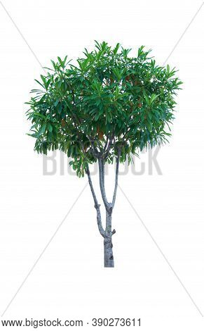 Tree And Leaf Beautiful On White Background. Cerbera Plant Or Alstonia Scholaris
