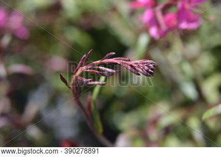 Pink Gaura Flower Buds - Latin Name - Oenothera Lindheimeri (gaura Lindheimeri)