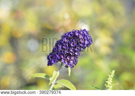 Summer Lilac Black Knight - Latin Name - Buddleja Davidii Black Knight