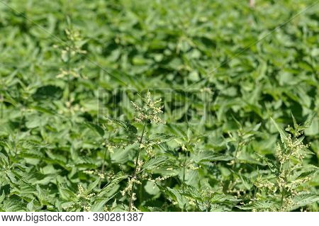 Stinging Nettles In A Field