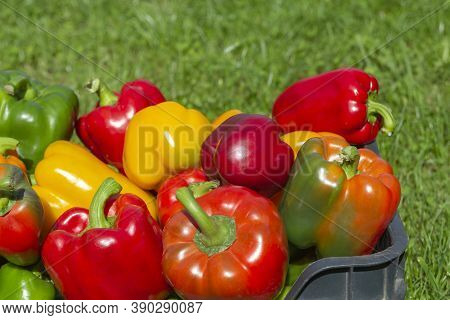 A Colorful Mix Of Paprika Capsicum In A Box On A Green Grass Background.close Up.