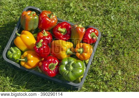 A Colorful Mix Of Paprika Capsicum In A Box On A Green Grass Background