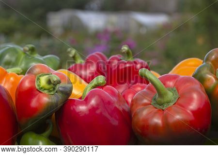 A Colorful Mix Of Paprika Capsicum In A Box Against The Backdrop Of Greenhouses. Close Up.