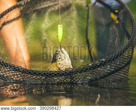 Rainbow Trout On A Hook. Fishing Became A Popular Recreational Activity. Fish On The Hook. Sport Fis
